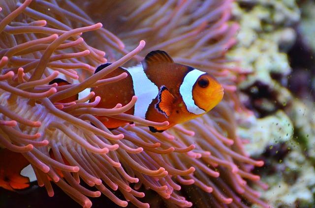 anemone-fish-1496866_640